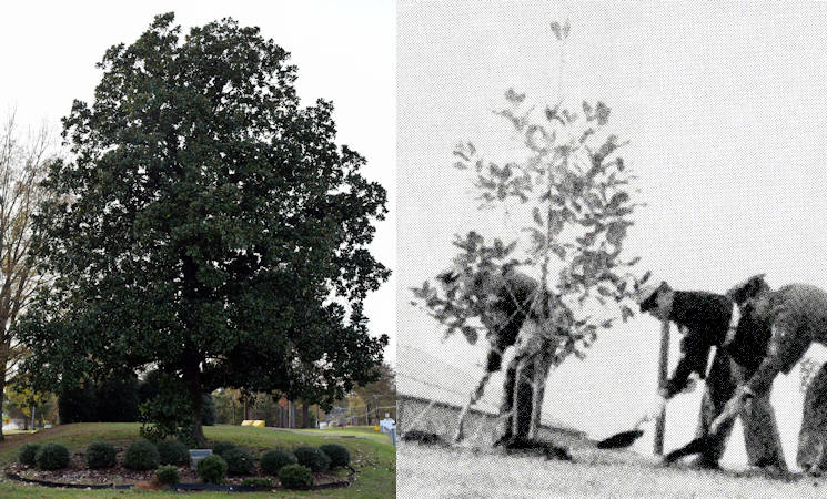 The JFK magnolia tree at Dobbins Air Reserve Base in Marietta, Georgia on December 5, 2015 (left) 52 years after it was planted on December 7, 1943 (right) by representatives of the Georgia Air National Guard, Air Force Reserve, U.S. Navy and Marine Corps in honor of the late President John F. Kennedy. Image created by USA Patriotism! from Georgia Army National Guard photo by Capt. William Carraway (left) and courtesy photo from Georgia National Guard Archives (right).
