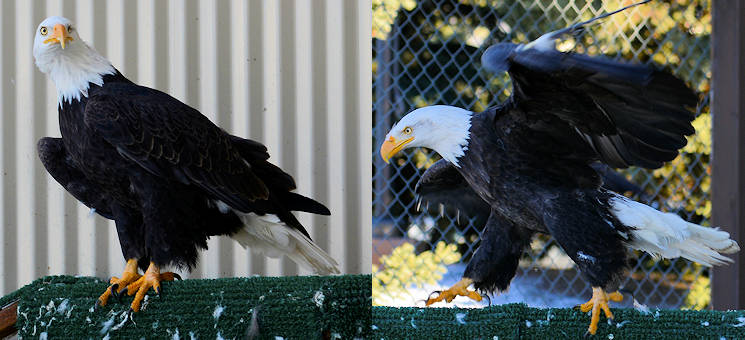 Yukla Memorial at Joint Base Elmendorf-Richardson (February 9, 2016) ... Left - One-Eyed Jack, a disabled bald eagle, stands on a perch. It lost an eye and its right humerus was broken as a result of running into a mooring pole. Right - Notch Wing, a disabled bald eagle, walks across a perch in a display cage. According to the Alaska Department of Fish and Game, eagles are more abundant in Alaska than anywhere else in the United States. (Image created by USA Patriotism! from U.S. Air Force photo by Airman Valerie Monroy)