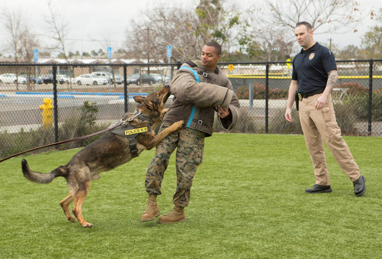 February 17, 2017 - Officers with the Provost Marshal's Office at Marine Corps Air Station Miramar, Calif., demonstrates how a military working dog is trained to attack a suspect during a K-9 showcase at the Miramar Youth and Teen Center on MCAS Miramar. Military working dog handlers train their dogs to assist in neutralizing a threat to aid in base security. (U.S. Marine Corps photo by Lance Cpl. Liah Kitchen)