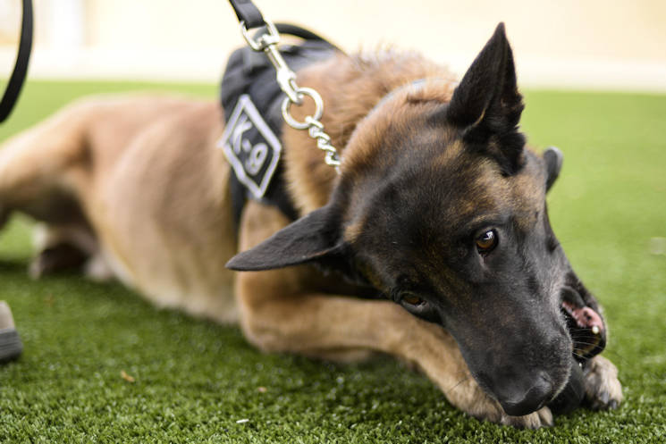 "December 7, 2016 - Jop, a military working dog with the 49th Security Forces Squadron, chews on a rubber toy during a ""play time"" session with his handler at Holloman Air Force Base, NM. Holloman's MWDs are afforded play time daily. Oftentimes, basic obedience is incorporated into the dog's play time. Handlers are required to do a minimum of one hour of obedience training every day, which involves commands such as sit, down, stay, heel and out. (U.S. Air Force photo by Airman 1st Class Alexis P. Docherty)"