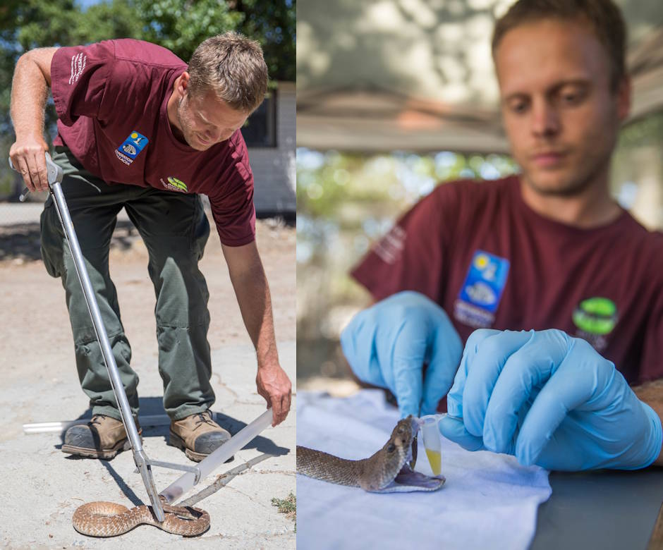 August 31, 2018 - Nate Redetzke, wildlife technician, Game Wardens Section (GWS), places a red diamond rattlesnake in a tube before implanting a transmitter and collecting venom from it at the GWS Marine Corps Base Camp Pendleton, California. The GWS is only allowed to keep a rattlesnake in captivity for two weeks before releasing it back into the wild. (Image created by USA Patriotism! from U.S. Marine Corps photos by Lance Cpl. Kerstin Roberts)