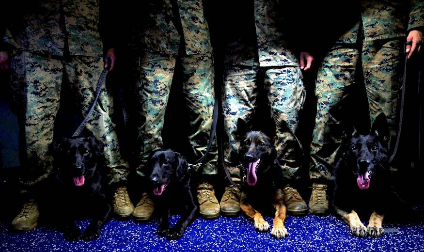 October 1, 2018 - Military Working Dog handlers with the 31st Marine Expeditionary Unit, from left to right, Sgt. Christopher Castillo and his dog Raider; Cpl. Rolando Sulaica and his dogs Riggs; Cpl. Dustin Johnson and his dog Ziva; and Cpl. Jesica Fleming and her dog Sjonnie - stand with their partners aboard the amphibious assault ship USS Wasp (LHD 1), underway in the South China Sea. Military working dog handlers support the 31st MEU during training in garrison in Okinawa, Japan and while underway aboard the amphibious assault ship USS Wasp (LHD 1). MWD handlers have supported Marine Corps amphibious operations since WWII - their partners, man's best friend, have saved countless lives during the decades across the globe. (U.S. Marine Corps photo by Cpl. Bernadette R. Plouffe)