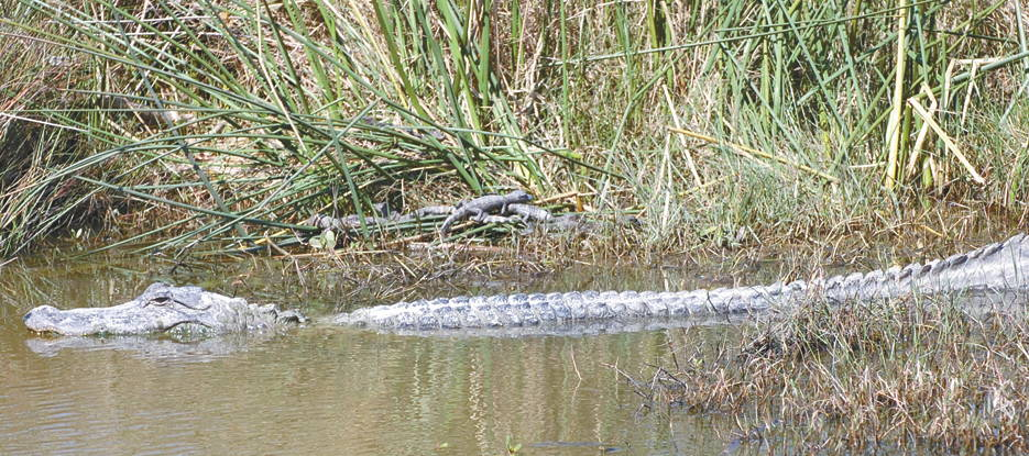 April 27, 2019 - A mother alligator watches over her brood at the Sabine National Wildlife Refuge Wetland Walkway. (U.S. Army photo by Chuck Cannon, Fort Polk Public Affairs Office)