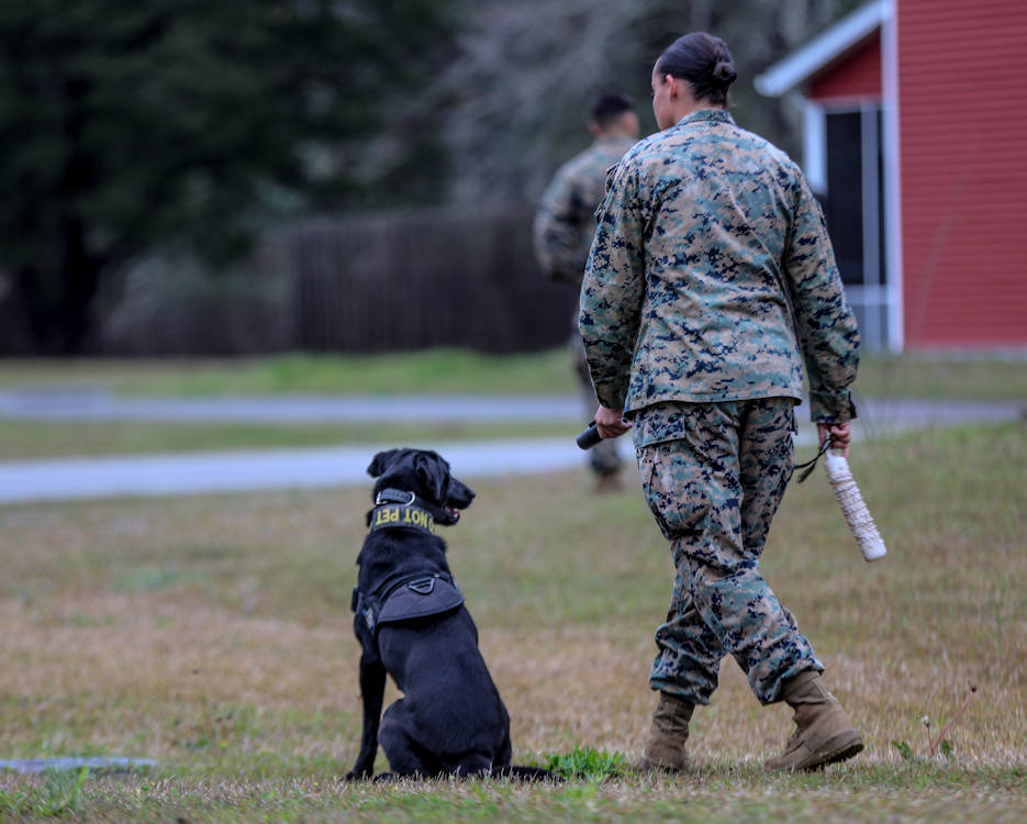 March 21, 2019 - Lance Cpl. Alexis Delarm, military working dog handler, 2nd Law Enforcement Battalion, throws a toy for her military working dog during a training exercise on Marine Corps Base Camp Lejeune, North Carolina. This exercise trains military working dogs and their handlers to give and receive commands on navigational directions, so they can work more efficiently in a combat environment. (U.S. Marine Corps photo by Lance Cpl. Miranda C. DeKorte)