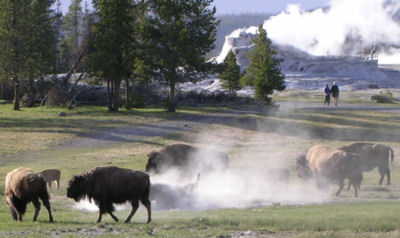 Bison / buffalo grazing in the area where Old Faithful and other active geysers are located in Yellowstone.